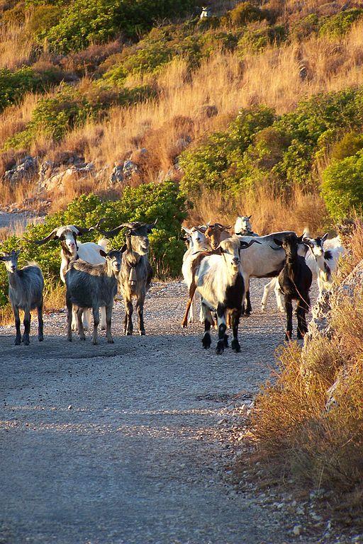 512px-Vuno_Albania_goats