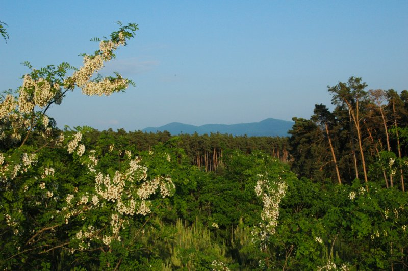 Pine_wood_bor_lowland