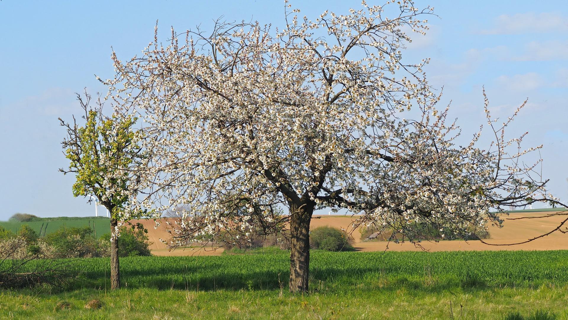 Kirschblüte im Südharz