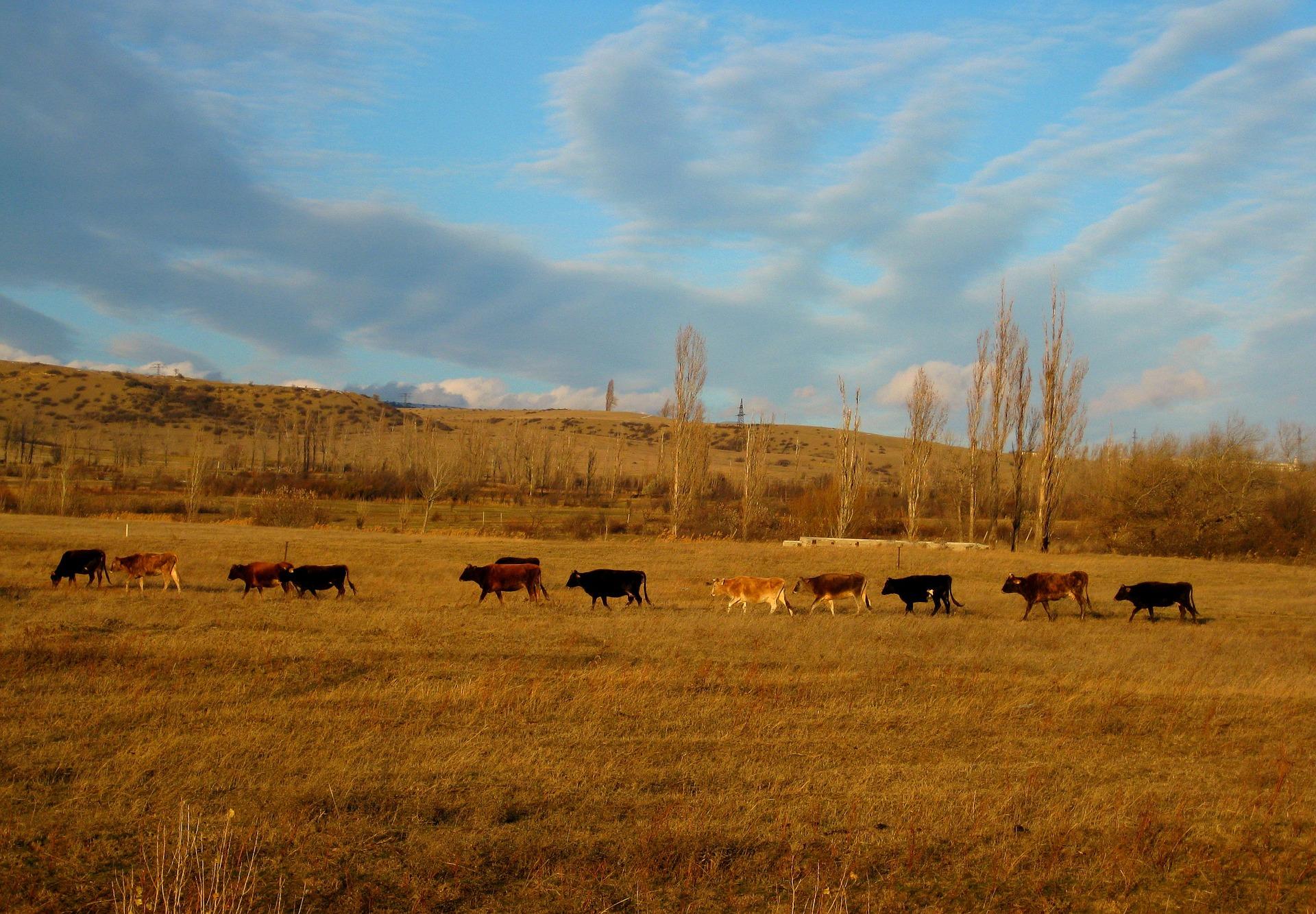 cows-692996_1920