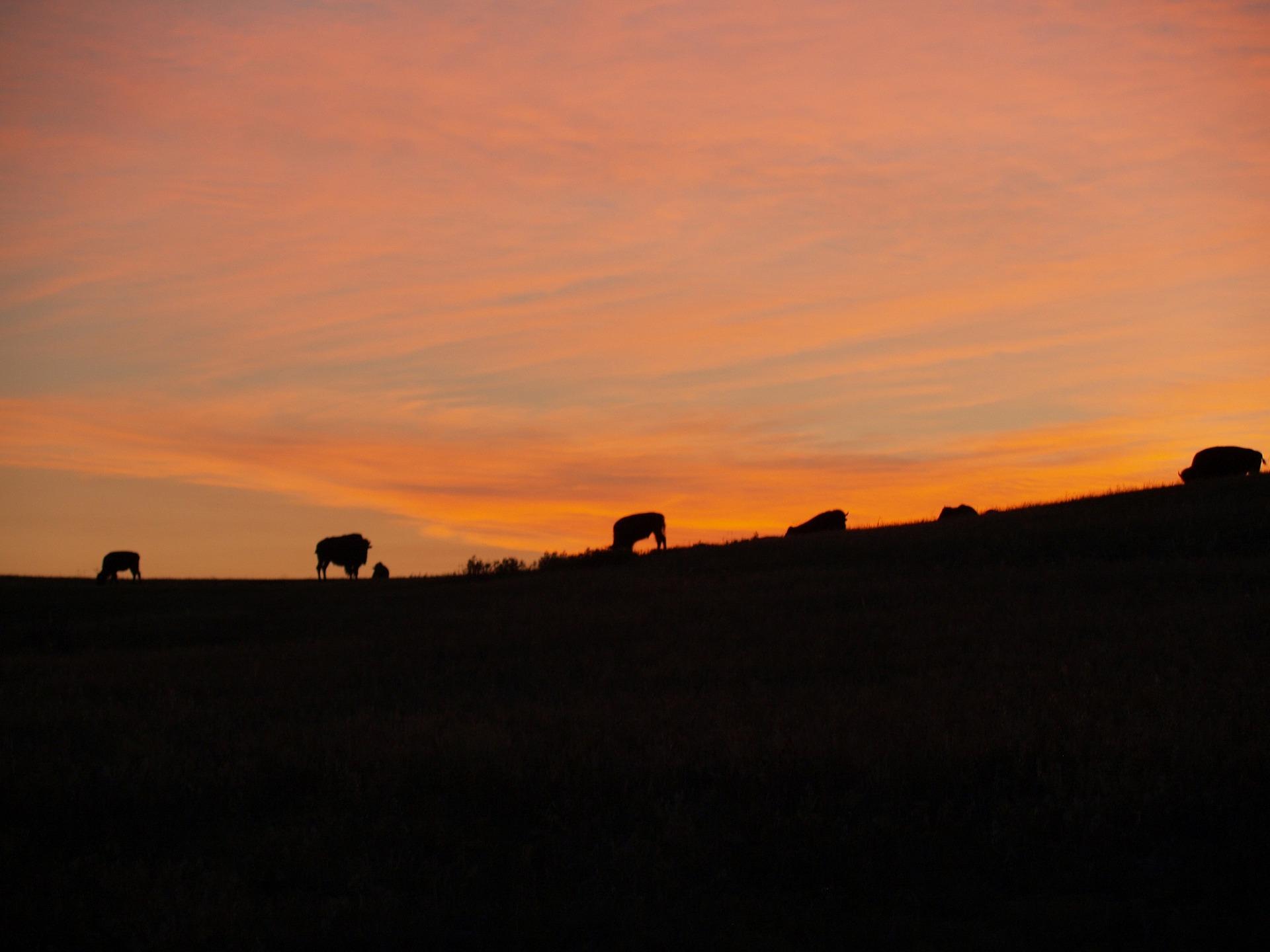 bison-2078174_1920