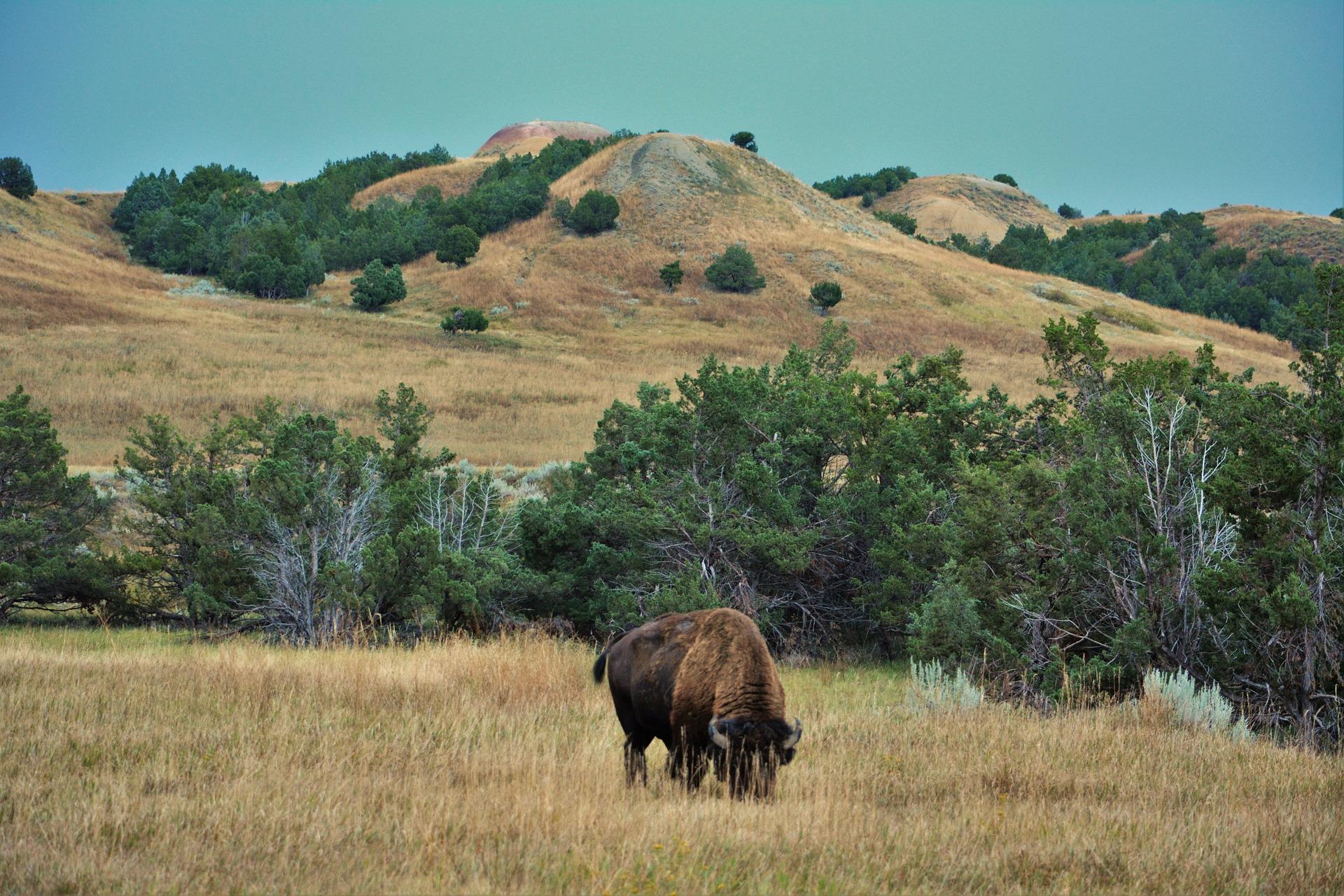 buffalo-1305686_1920