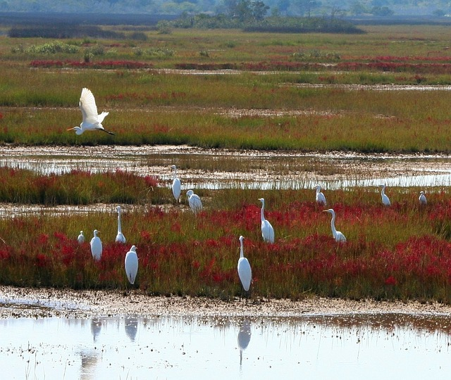 great-white-herons-60892_640