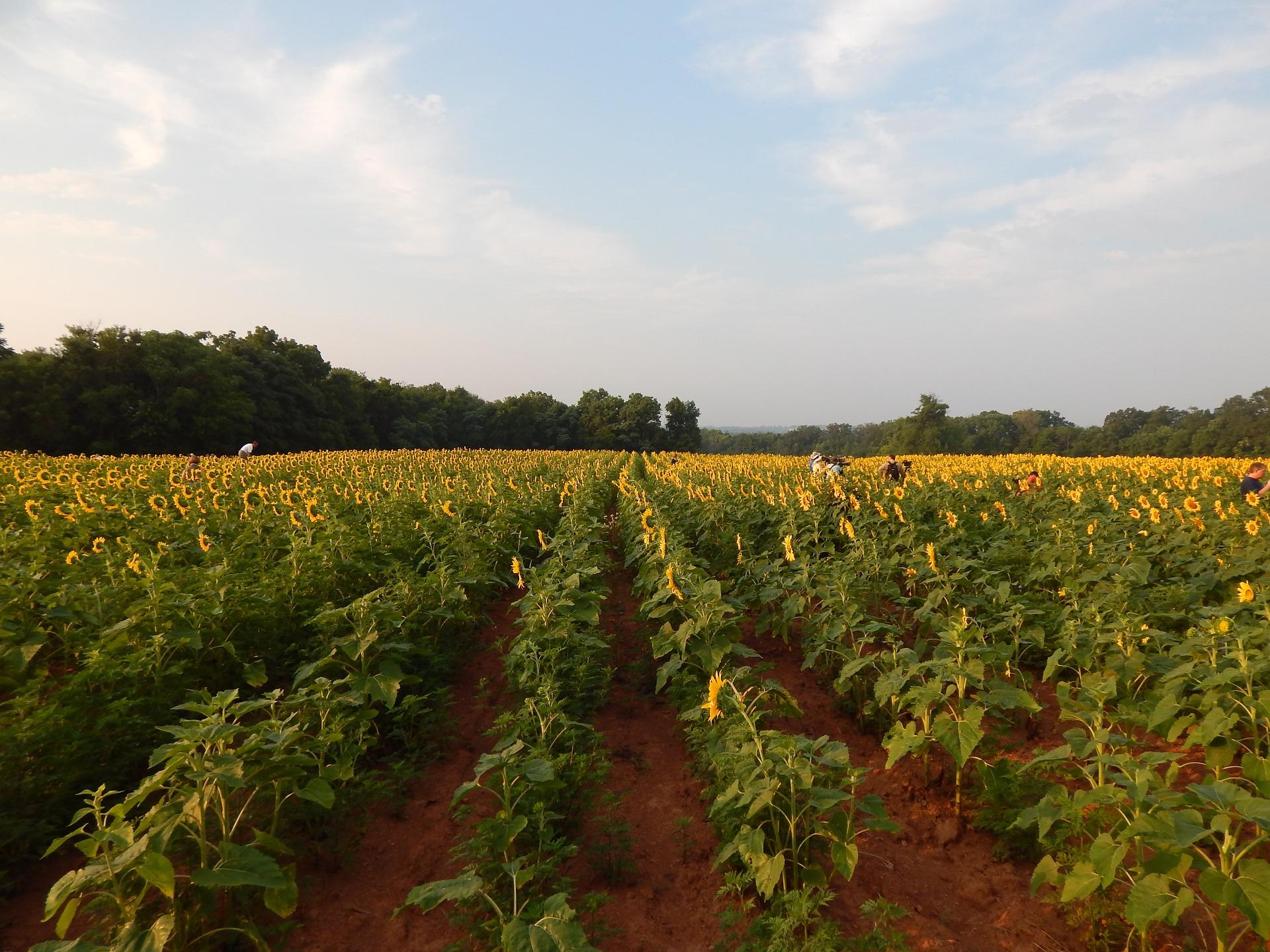 sunflowers-707443_1920
