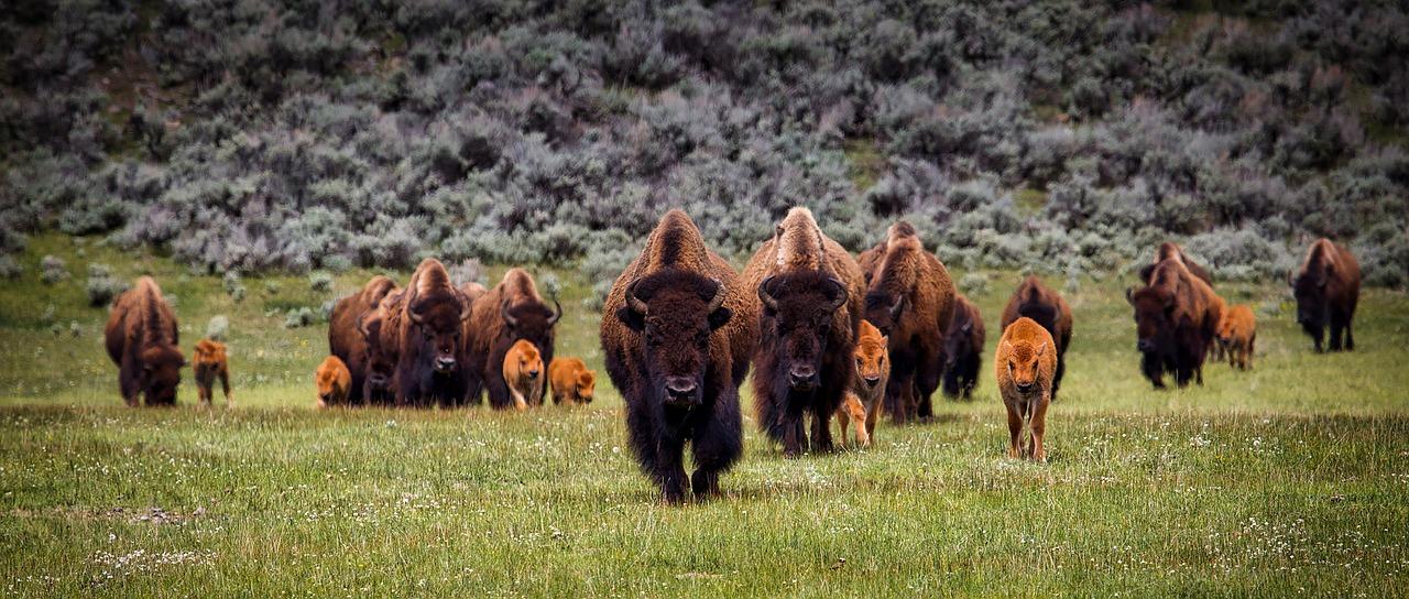 bison-1581895_1280