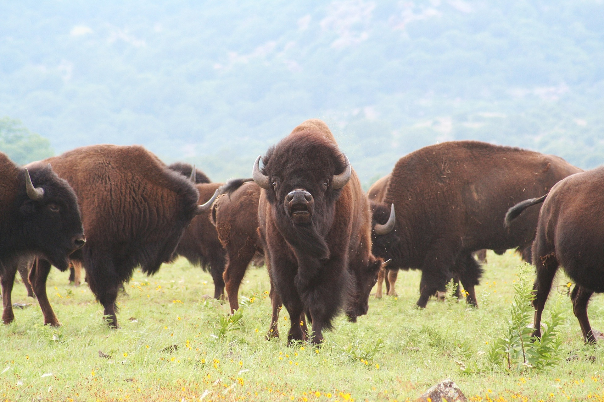 buffalo-1436182_1920