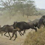 wildebeests-805391_1920
