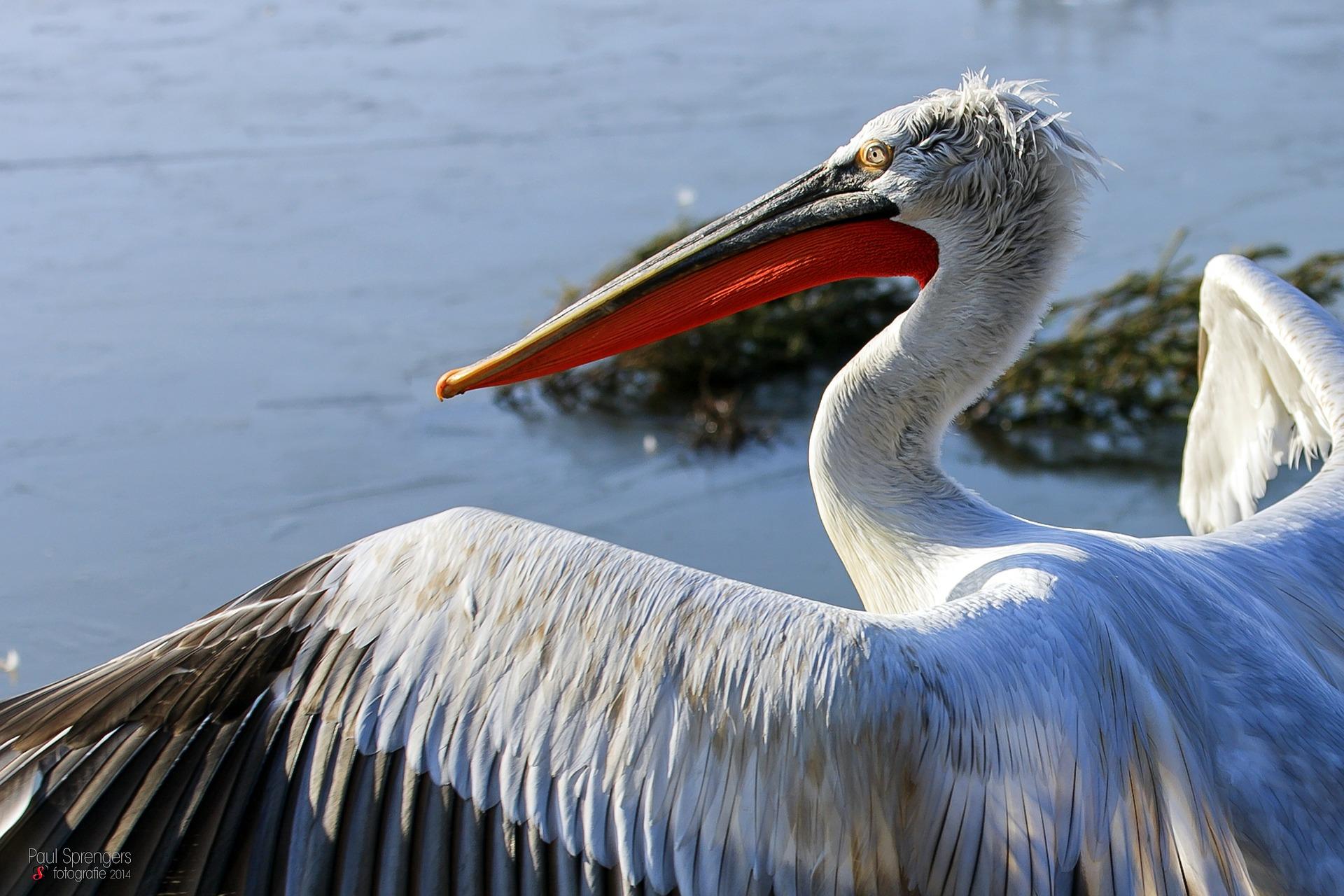 dalmatian-pelican-259155_1920