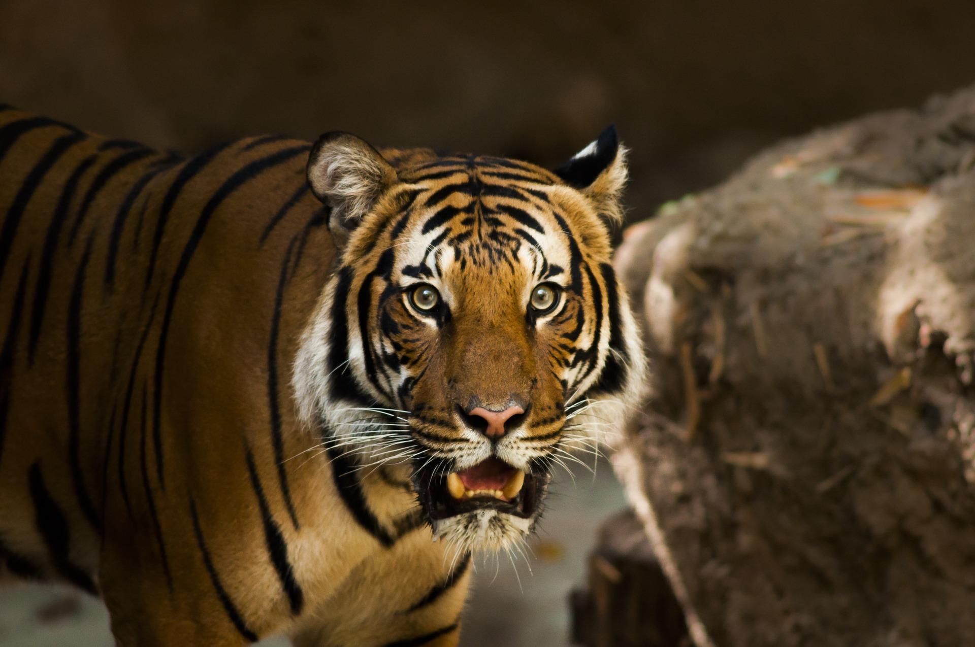 siberian-tiger-1209680_1920