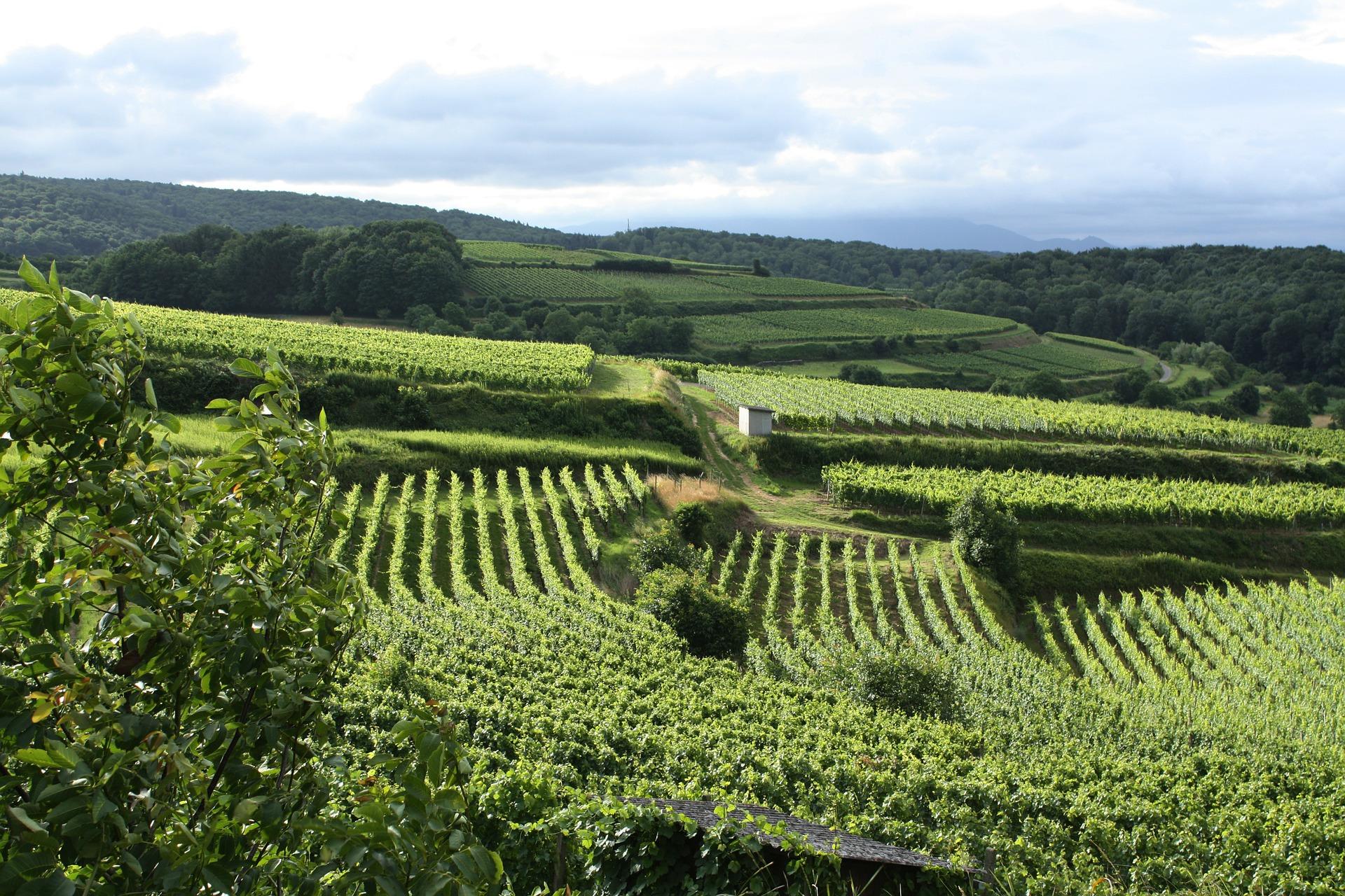 vineyard-102072_1920
