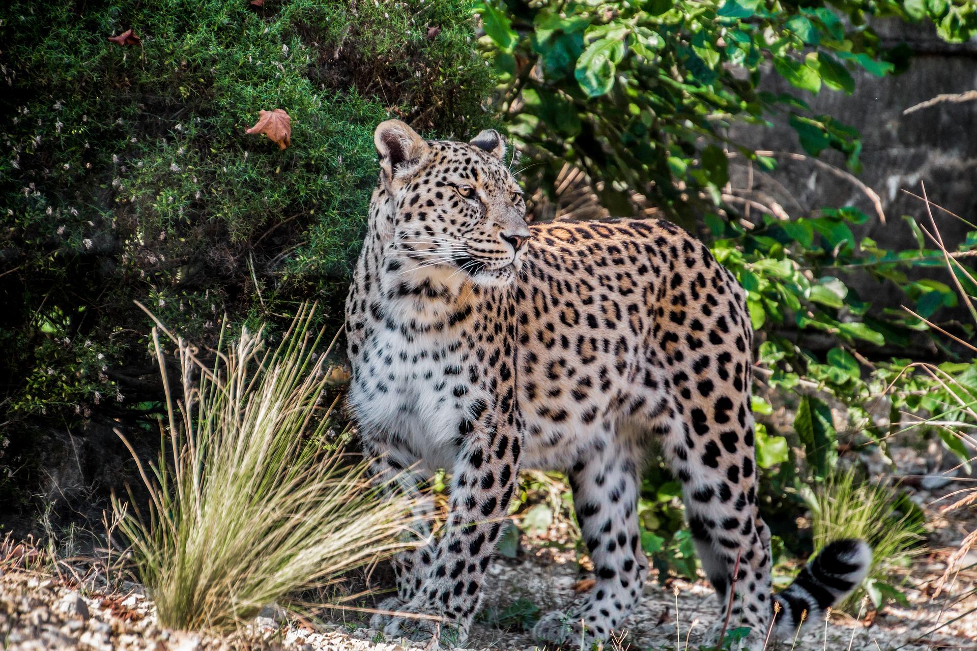 leopard-1851398_1920
