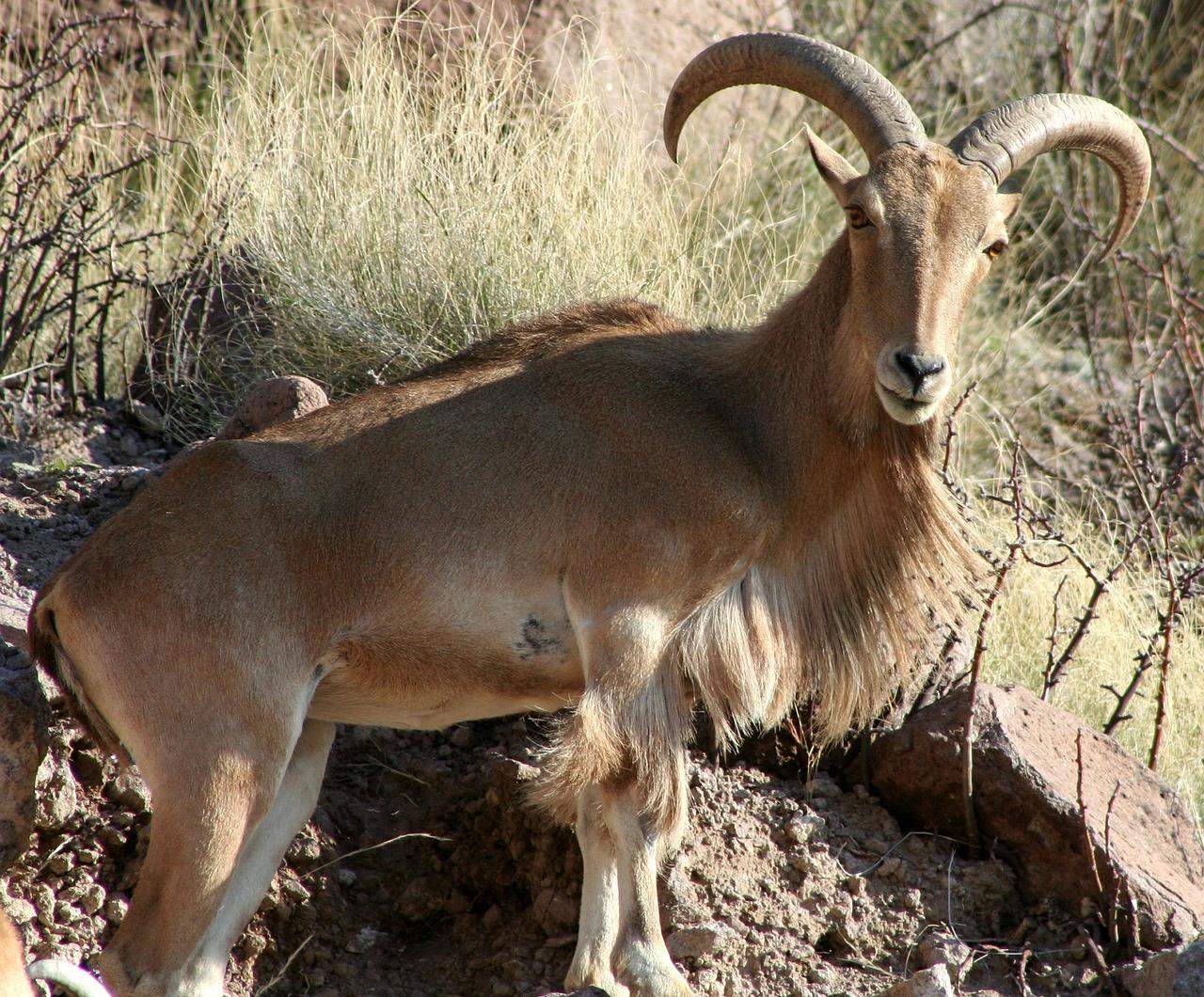 barbary-sheep-1569275_1280