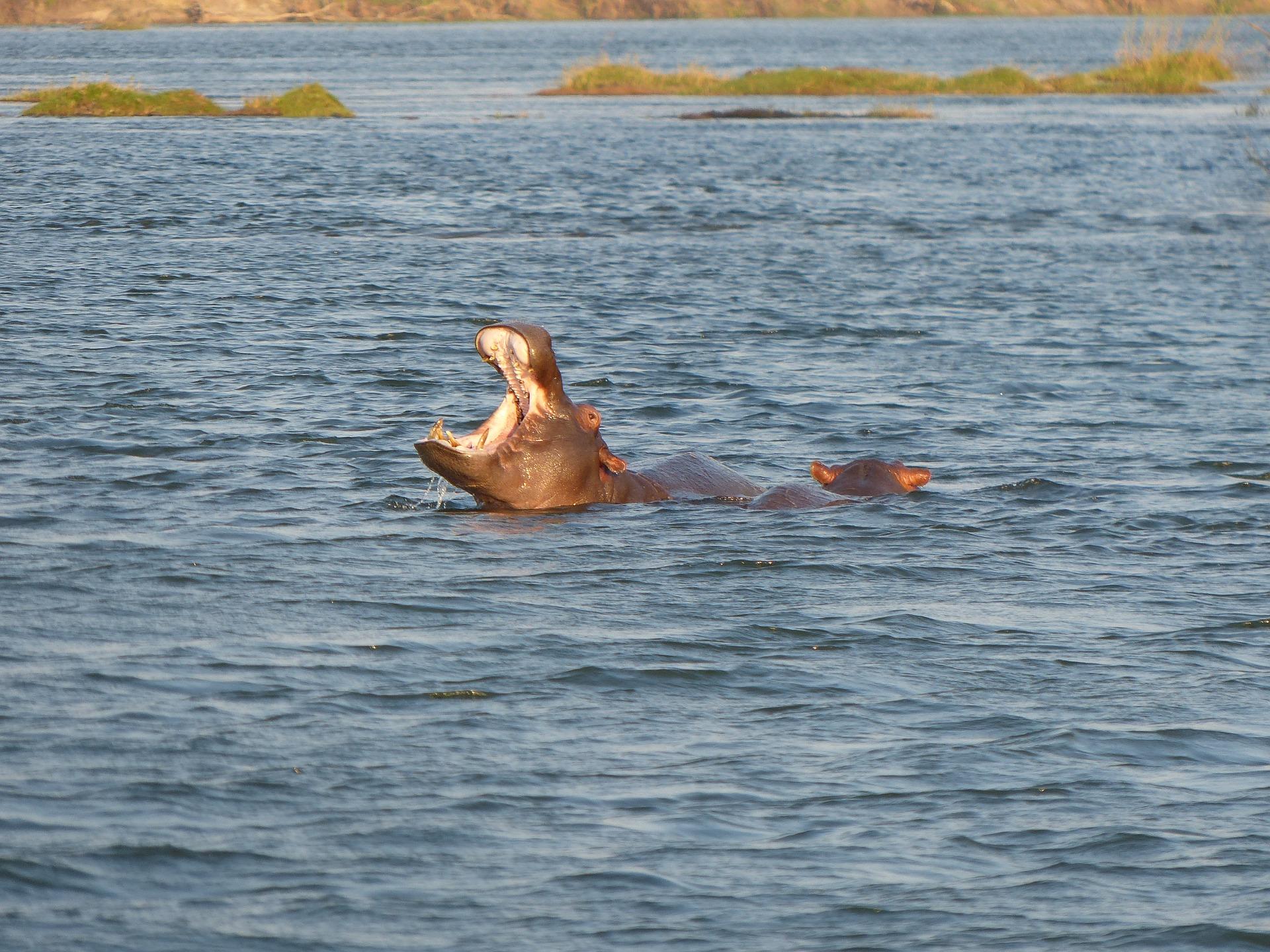 hippos-518410_1920